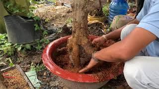 Cách trồng mai phôi vào chậu đảm bảo sống tốt | ltk