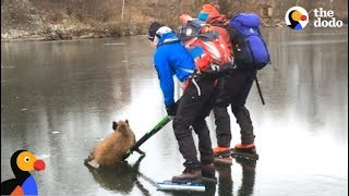 Skaters Rescue Wild Boar Stuck on Ice