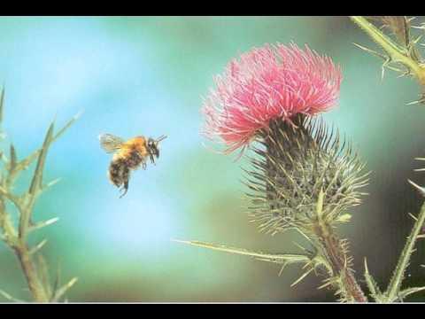 "Rimsky-Korsakov: ""Flight of the Bumble-Bee"""