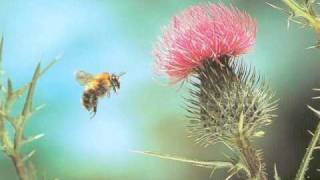 "Rimsky-Korsakov: ""Flight of the Bumble-Bee"""