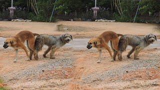 Sweet Doggy SEASON mating #35
