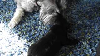 Miniature Schnauzers - Hunter And Chai - 2 Wks