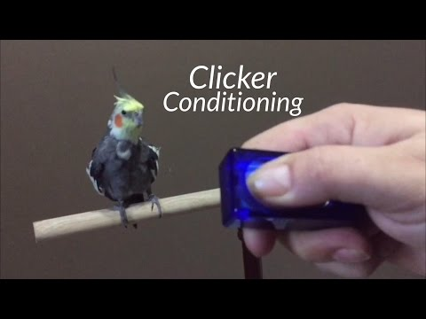 Parrot Trick Training – Step 1 – Clicker Conditioning