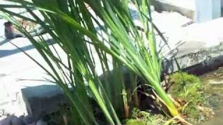 # 221 Roof Top Pond  Part 5 Carls Aquarium