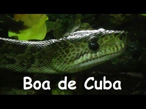 Chilabothrus angulifer (Bibron in Cocteau & Bibron, 1843) -HD- Boa de Cuba - Ménagerie Zoo - 10/2014