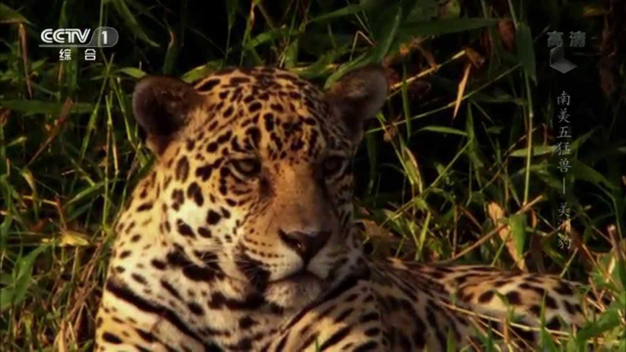 南美五猛兽——美洲豹|《魅力纪录》 2014.05.12|CCTV-1