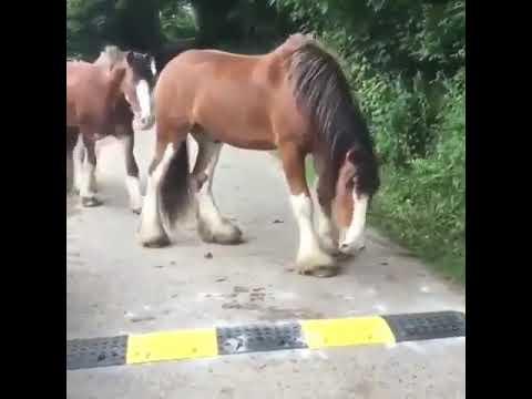 Лошади боятся лежачего полицейского.