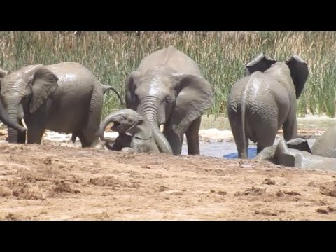 Elephant Calf Rescued From Mud Ditch By Herd