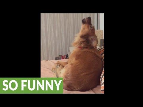 Dog howls along to snooze melody