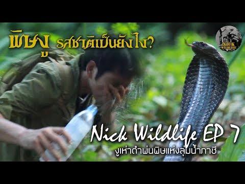 Nick Wildlife EP.7 ผจญภัยกับงูเห่าแห่งลุ่มน้ำภาชี 2 (งูเห่าดำพ่นพิษ)