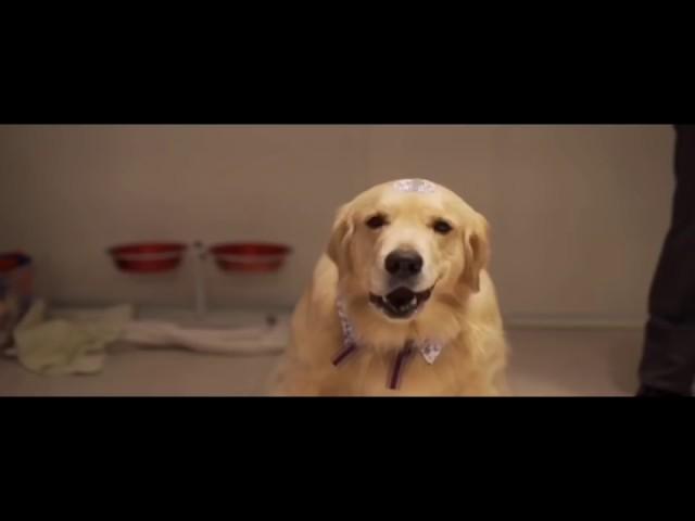 Cão levando as alianças em casamento - golden retriever