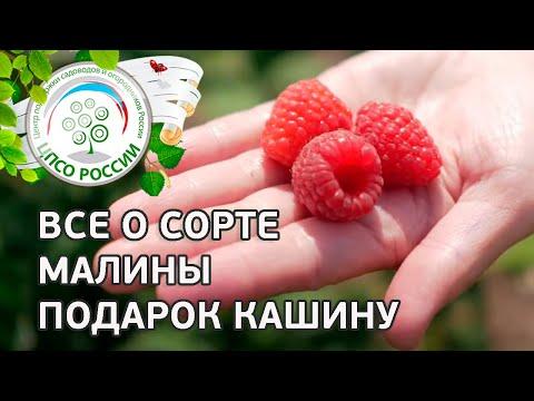 Сорт малины Подарок Кашину.  Ремонтантная малина Подарок Кашину, описание и особенности сорта. | выращивание | вырастить | открытый | теплица | рассада | посадка | агроном | семена | сажать | россии