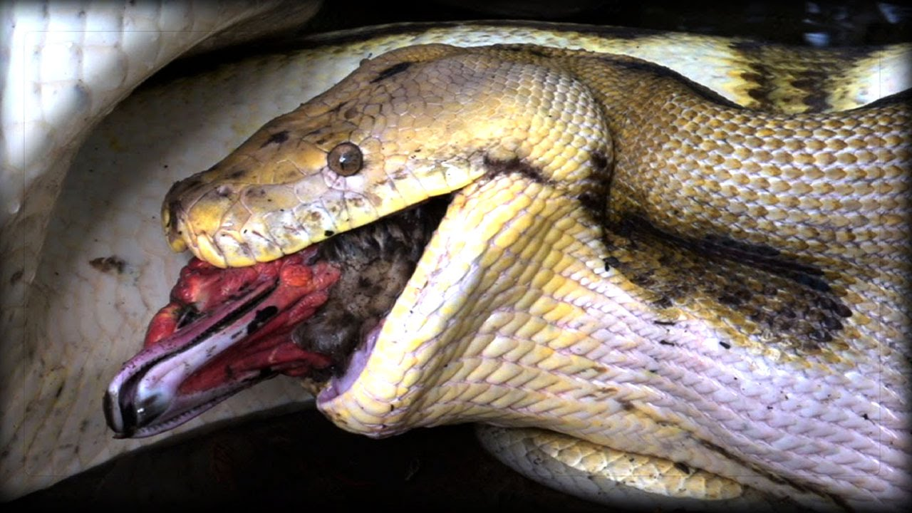 15 Scary Facts About Pythons Youtube