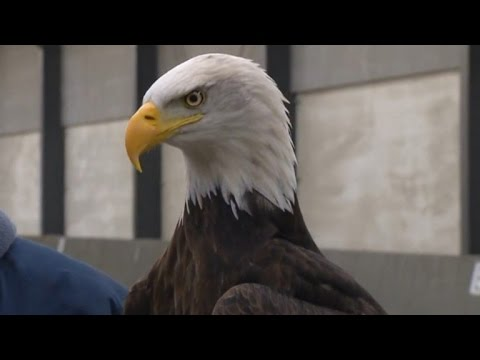 Watch These Trained Eagles Take Down Drones Flying in The Air