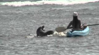 Hawaiian Monk Seal Accidental Contact Shark Pit Lahaina