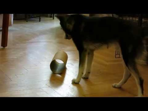 Alfie the Alaskan Klee Kai puppy & the puzzle roll