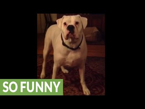 Tired boxer argues with owner about bedtime