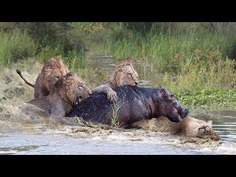 饥饿的狮子冒着生命危险狩猎河马,但河马太强了