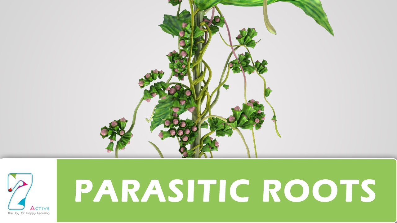 Parasitic Roots Youtube