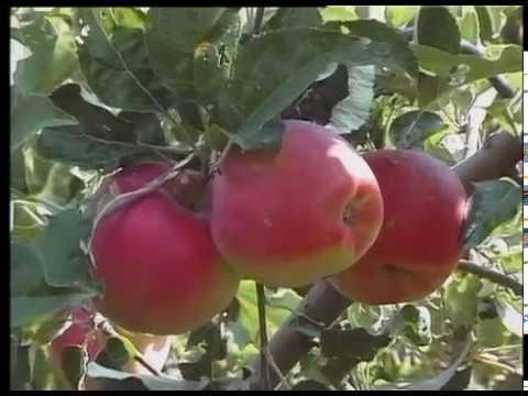 Борьба с паршой яблони, краткий обзор сортов: Максат, Грушовка вернинская и Кандиль