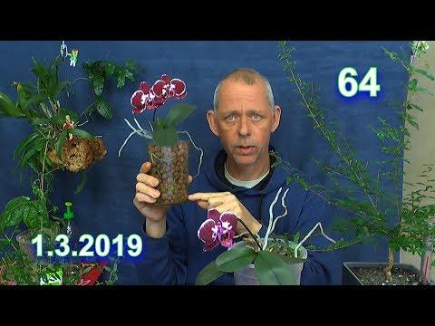 Phalaenopsis Wurzelschnitt, Umtopfen Und Vermehrung Durch Kopfsteckling Der Orchidee