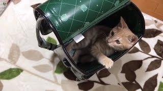 バレてないと思っている仕草がかわいいねこ  Kitten playing in the school bag