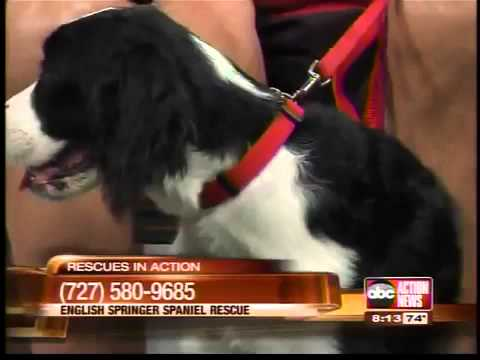 Rescues in Action: English Springer Spaniels