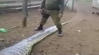 Змея проглотила целый теленок