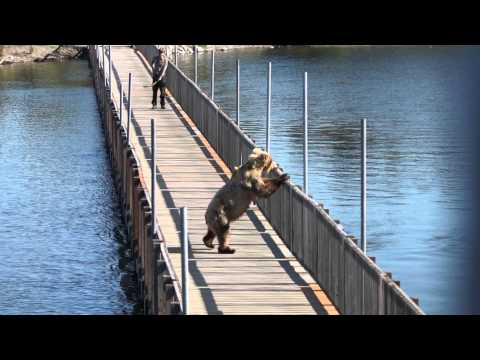 Bear Opens Gate And Walks On Brooks Lodge Bridge