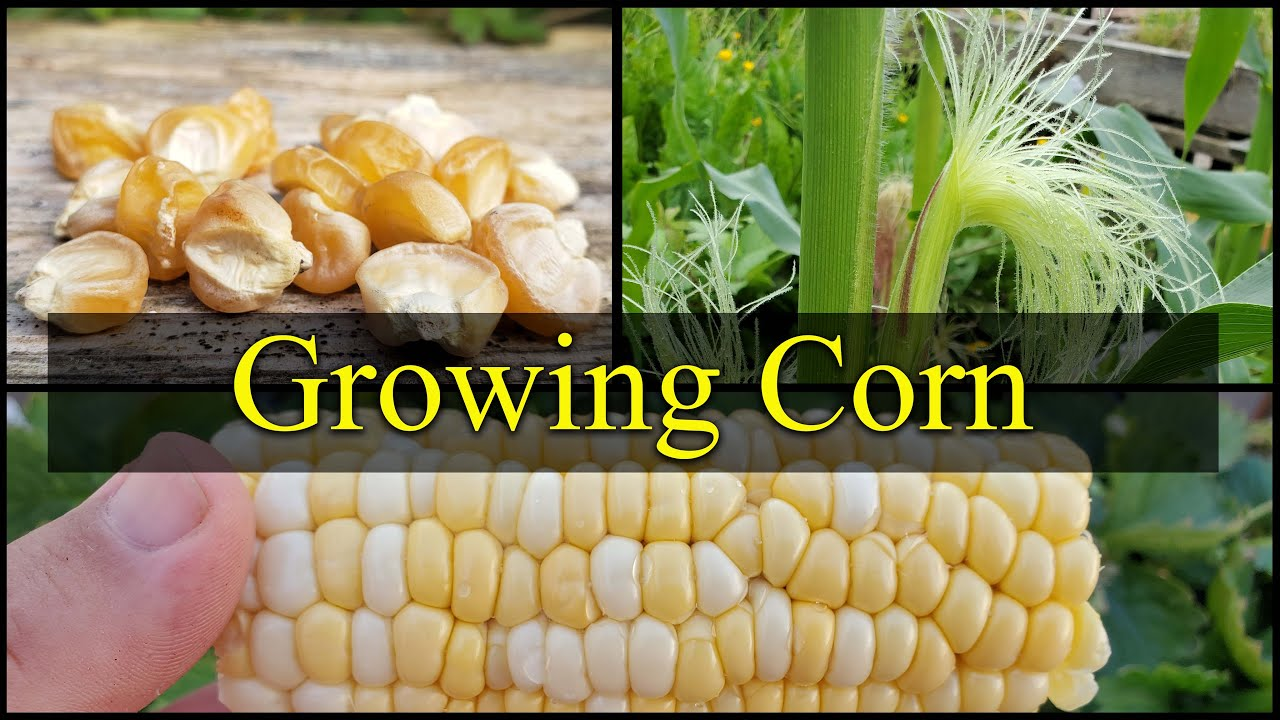 Download Growing Corn - The Definitive Guide For Beginners Part 1