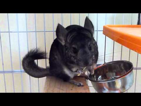 A chinchilla intercepts her boy friends hay