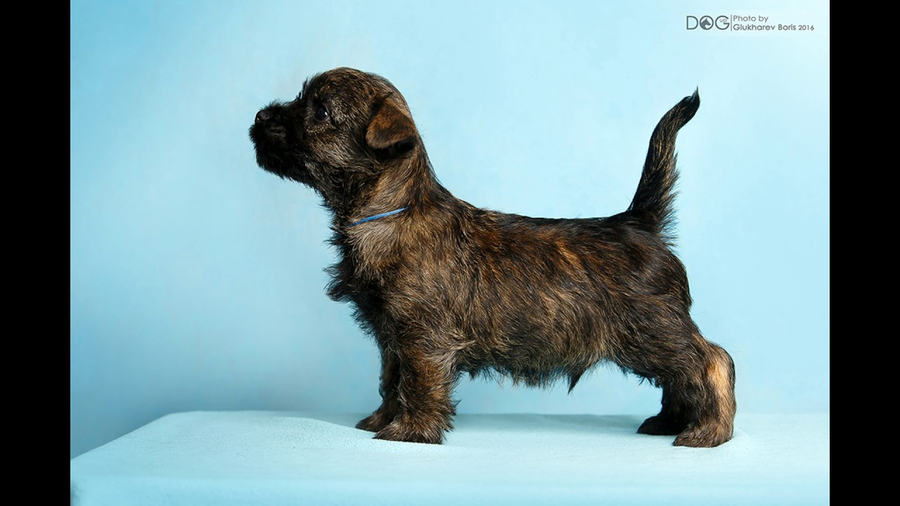 SENTVIK IMRIE - Cairn Terrier for sale - YouTube | Potty Training My Cairn Terrier Puppy