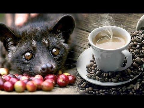 اغلى قهوة فى العالم من روث حيوان الزباد Youtube
