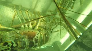 Tavernier 08/20/2018 Lobster box