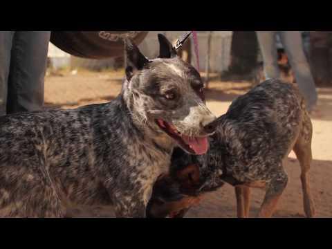 Arizona Cattle Dog & Blue Heeler Rescue - Heeling Heelers Hearts
