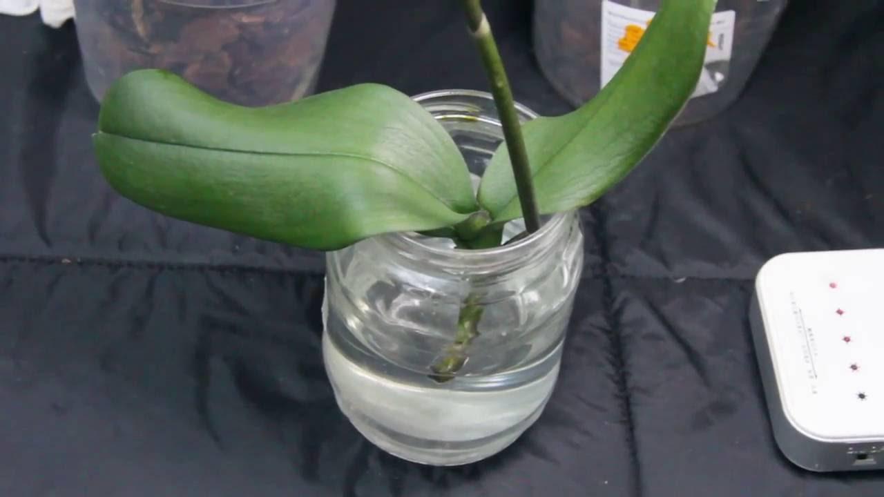 оживить орхидею без корней