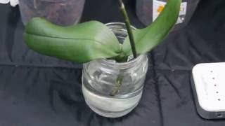 Орхидея без корней, наращиваем в воде (новый эксперимент)(, 2016-07-21T14:30:20.000Z)