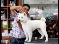 윤형석애견미용원 James' Dog grooming Salon 보광 Spitz の動画、YouTube動画。