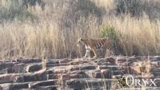 Bengal Tiger Photo Tour (India)