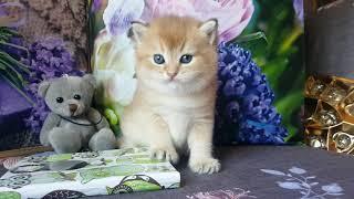 Британские котята золотая шиншилла