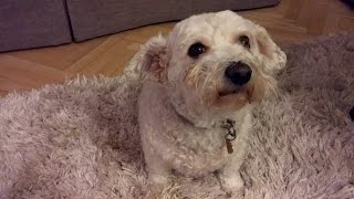 [ Jasmina & Erni ] - Funny Clips -  Bichon Frise & Jack Russell Terrier. Tennis Ball.