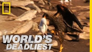 Caracaras Eat Baby Seabirds | World's Deadliest