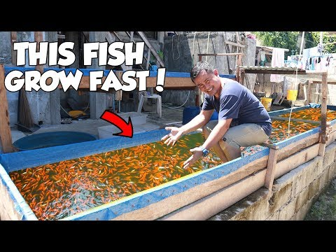 HOW I GROW MY FISH SUPER FAST (This Is UNBELIEVABLE)