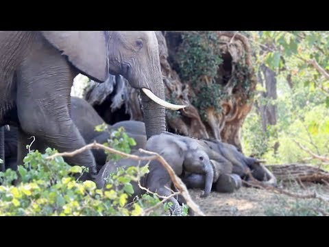 How to Wake Up a Baby Elephant