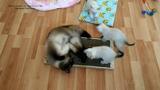 Тайский кот Оскар пришёл к котятам в гости и забалдел от запаха мяты на когтеточке! Тайские кошки