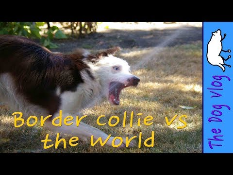 Border Collie vs the World