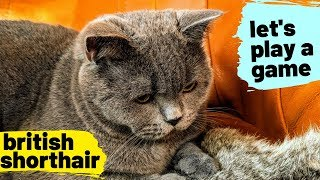 Okay Tom, let's play a game | British shorthair #09
