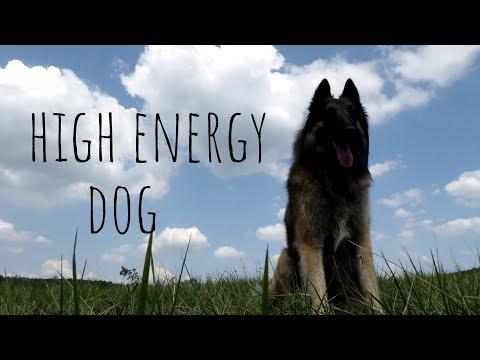High Energy Dog | Belgian Shepherd