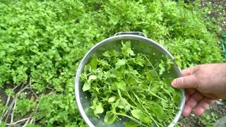 How To Eat Weeds - Chickweed Fritters With Dipping Sauce