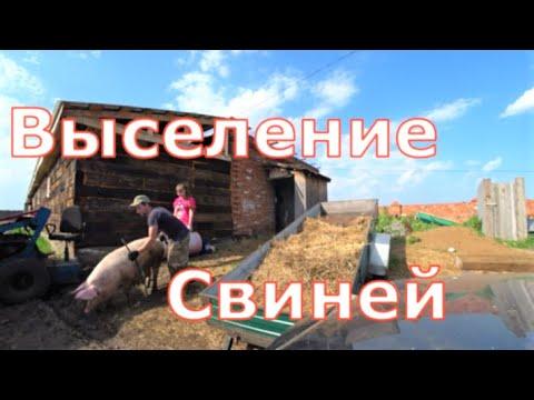 Видео: Взвешивание поросят / Перегон свиноматок